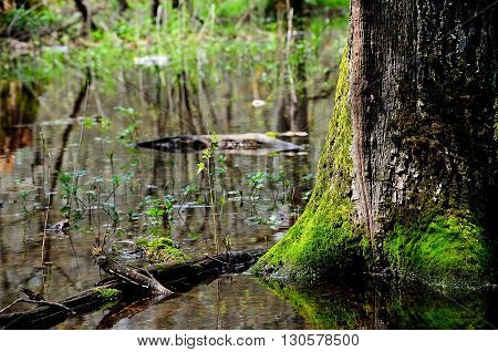 trunk of an old tree moss-grown in a forest marshland
