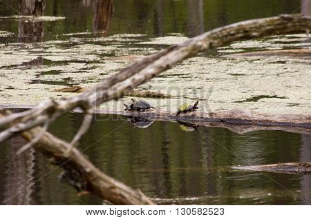 pair of painted turtles mating on a log in a swamp.