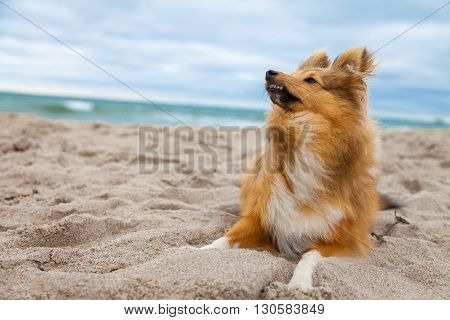 a shetland sheepdog lies on windy beach