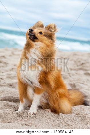 a shetland sheepdog sits on the beach
