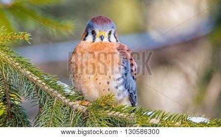 American Kestrel on tree branch with bokeh