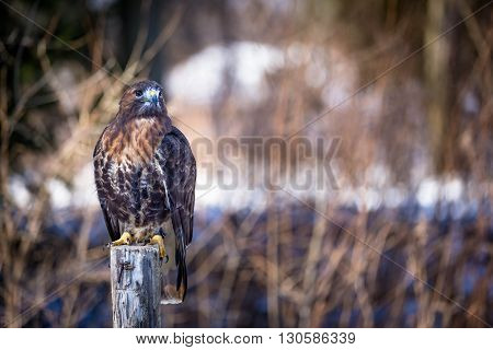 Golden eagle close up on a tree