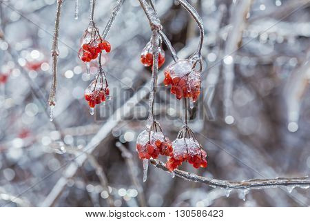 Icy Nanking cherry tree in winter time
