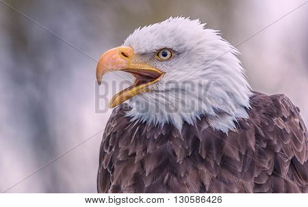 close up of an angry bald eagle
