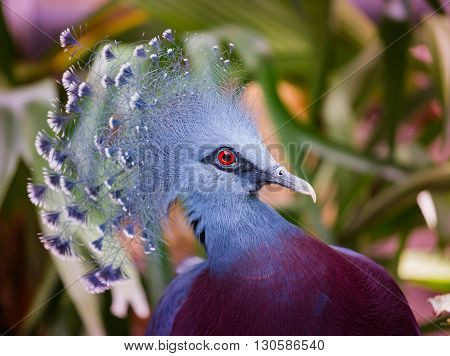 close up of a beautiful crowned pigeon