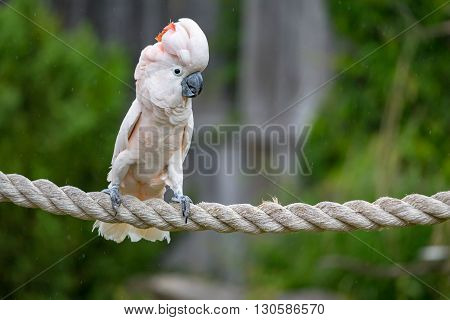 close up of a Cockatoo parrot on a rope