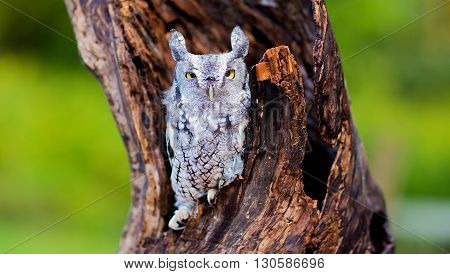 screech owl on a tree with green bokeh