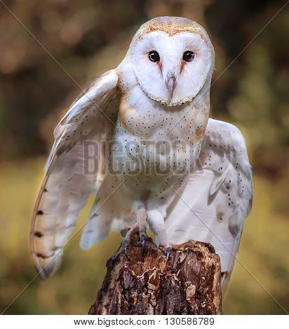 Close up of barn owl on a tree