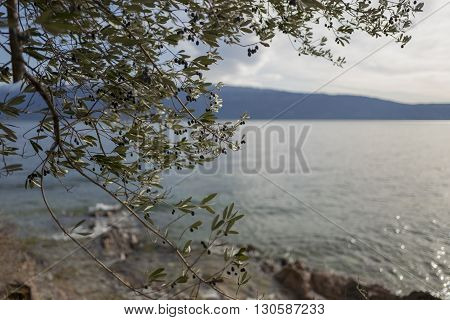 Olive tree on the view of lake near of mountains. Italy. Garda
