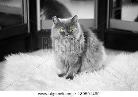 Portrait of cute furry domestic cat with yellow eyes.