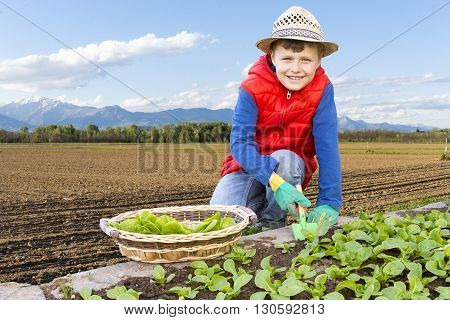 Close Up Of Children That Collects Salad In The Garden Vegetable