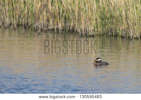 Red-necked Grebe (Podiceps grisegena) adult swimming in water alongside Reed