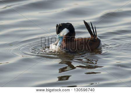 Ruddy Duck (Oxyura jamaicensis) drake courtshipping on the surface
