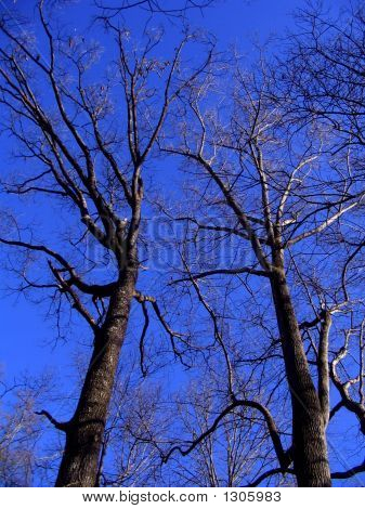 Barren Trees Among The Southern Winter Sky