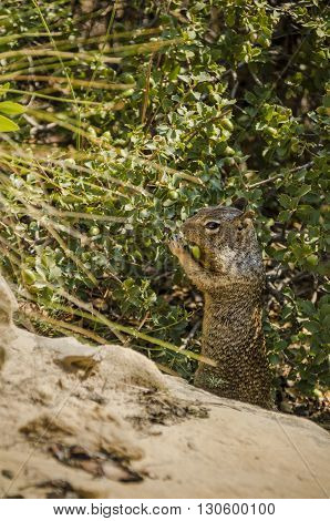 Rock squirrel, which is a large ground squirrel, eating acorns in Zion National Park
