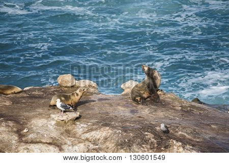 Two wet sea lions sunbathing and two seagulls on a cliff by the ocean in La Jolla cove, San Diego, California