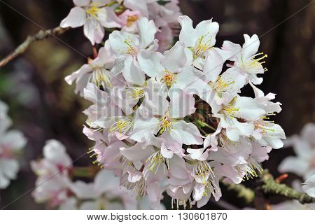 Spring background. Cherry blossoms hybrid close up