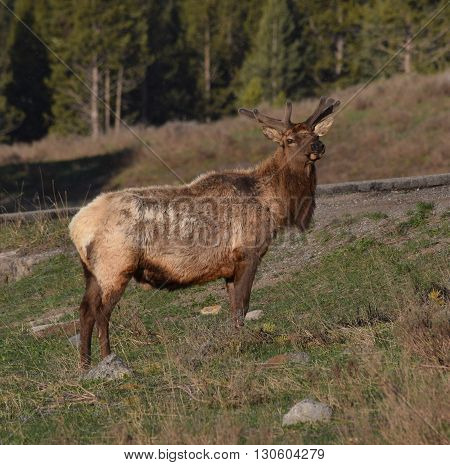 an elk in the early morning light near canyon Yellowstone National park.