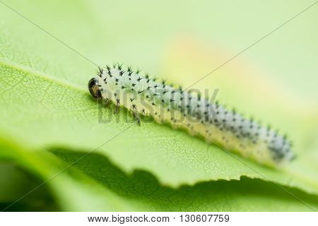 Oak sawfly (Periclista lineolata) larva on oak leaf. Spiky sawfly caterpillar in the family Tenthredinidae feeding on oak tree (Quercus sp.)