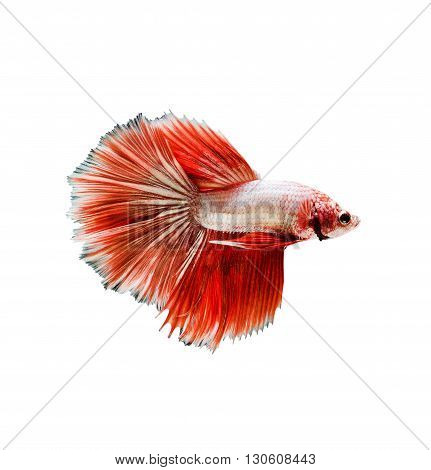 Capture the moving moment of red siamese fighting fish