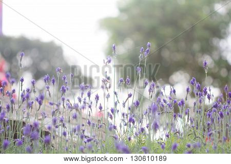 Lavender Flower. Beautiful Lavender Flower Lit By Sunlight