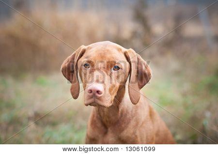 Hungarian Vizsla Dog Close-up
