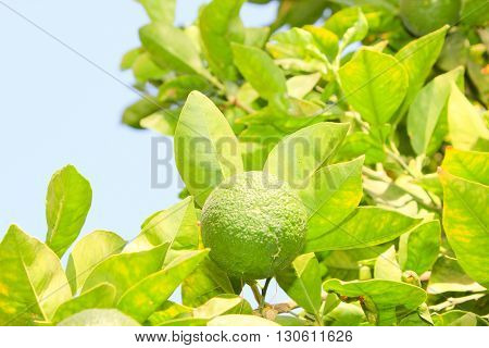 Green unripe Orange fruit on a branch. Orange garden. Orange trees with fruits on plantation.
