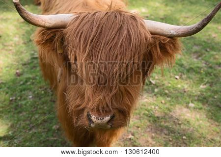 Scottish Highland Cattle on the meadow, closeup
