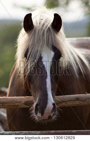 bay draft horse portrait outside behind fence