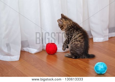 Kuril Bobtail cat playing with a ball of yarn. Thoroughbred cat. Cute and funny kitten. Pet.