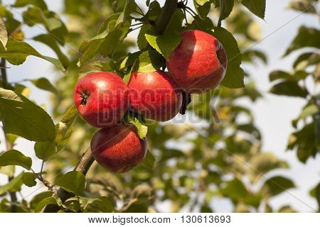 Apple tree with ripe fruits on branch