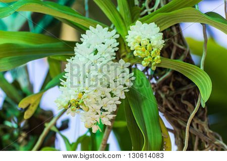 Large Bunch of white orchid flower , nature