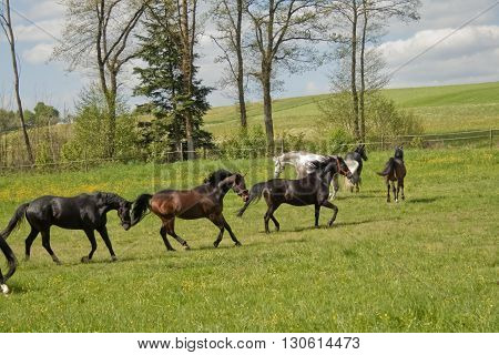 flock of horses gallop free on pasture