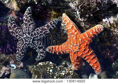 Two ochre sea stars in a tide pool that appear to be friends holding hands.