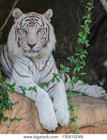 A rare white tiger on a rock
