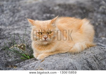 Cute fluffy persian blonde young cat outdoor