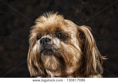 Image of a Lhasa Apso dog closeup