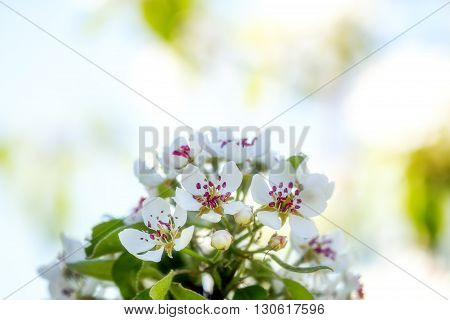 Pear Tree Blooms In White