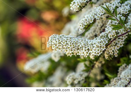 White Blooms In Spring