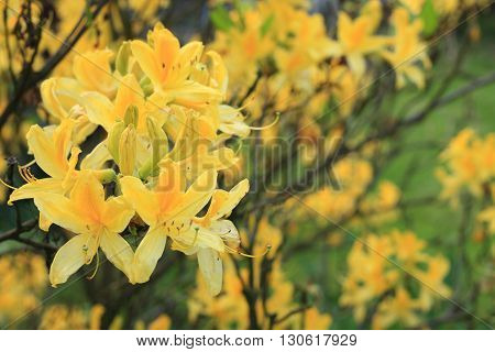Yellow Azalea flowers blooming in the garden