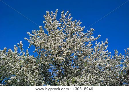 Blooming apple tree. Crone tree on a background of blue sky.