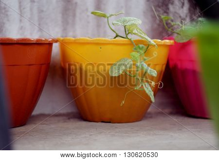 Melon plant in colorful pot Melon leaves are yellow not perfect which is caused by a fungus.