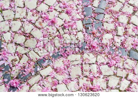 Pavement made from cobblestone two colors strewn with fallen petals of cherry blossoms closeup