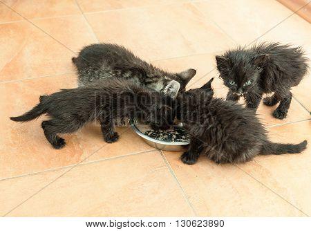Alley four little black kittens eat dry food
