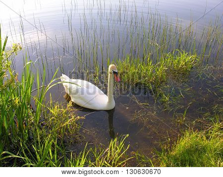 Swan swims to shore, spring forest lake