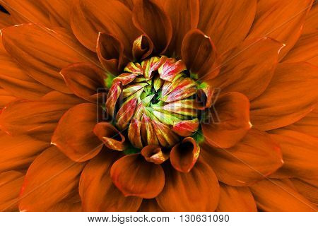 Dahlia flower closeup. Macro. Can be used in the design of the site and in printing. Also good for designers. Orange green.