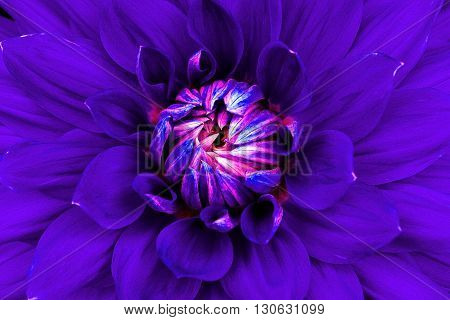 Dahlia flower closeup. Macro. Can be used in the design of the site and in printing. Also good for designers. Lilac pink.