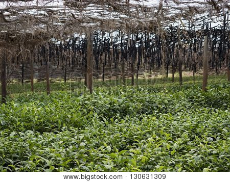 a big tea cultivation in Malawi Africa