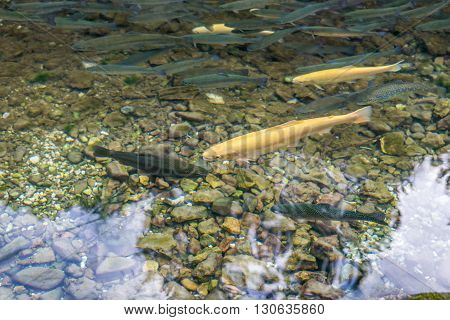 Golden albino and ordinary trout in a clear water mountain stream