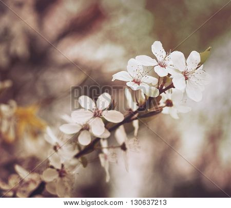 Beautiful  white flowers in spring with soft focus